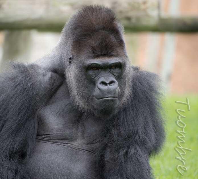 Gorilla fotografato da Umberto Andreini