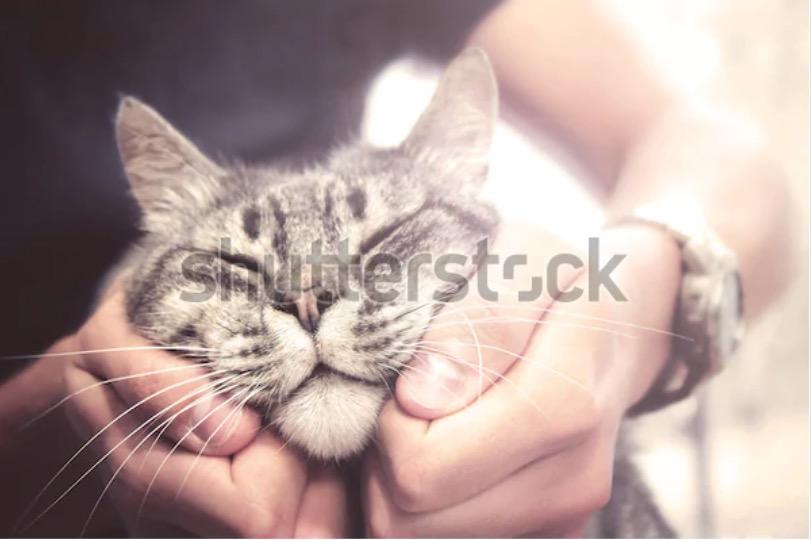 Foto di un gatto in vendita su Shutterstock